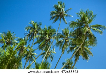 Coconut palm trees on the blue sky background