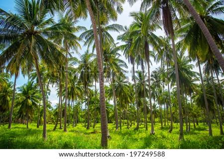 Coconut palm trees plantation in Thailand - stock photo