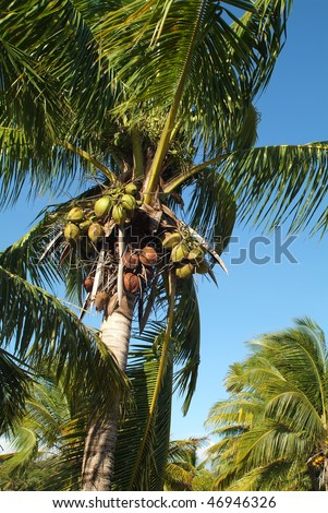 Coconut palm with Coconuts