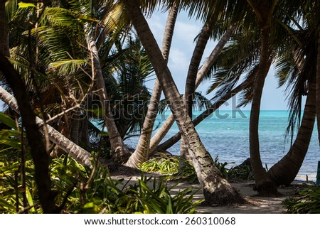 Coconut palms (Cocos nucifera) grow along the edge of a beautiful Caribbean Island. Coconut palms are found worldwide because their seeds disperse so efficiently. - stock photo