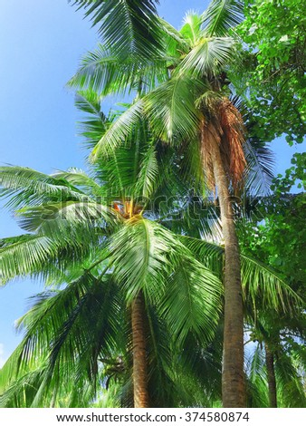 Coconut palms on a tropical island in the Maldives, middle part of the Indian Ocean.