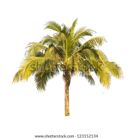 Coconut plam  tree isolated on white background. - stock photo