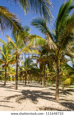 Coconut plantation in eastern Madagascar