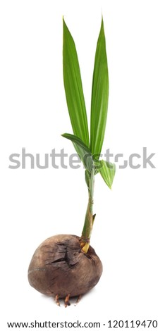 Coconut seedling over white background