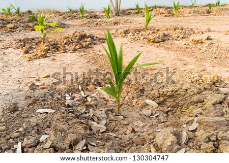 Coconut sprout in dry soil