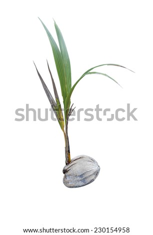coconut sprout isolated on white - stock photo