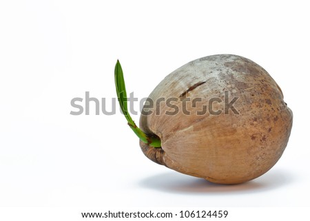 Coconut sprout on white background
