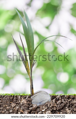 coconut sprouts growing with blur background - stock photo