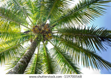Coconut tree - stock photo