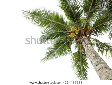 coconut tree and white sky background - stock photo