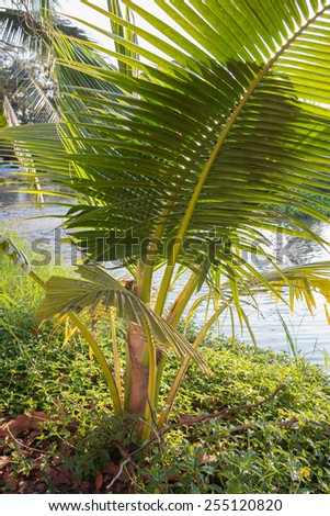 coconut tree beside the river