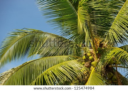 coconut tree  coconut against blue sky