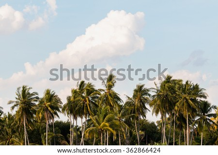 Coconut tree in garden