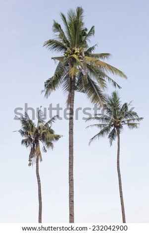 Coconut tree in sunshine day