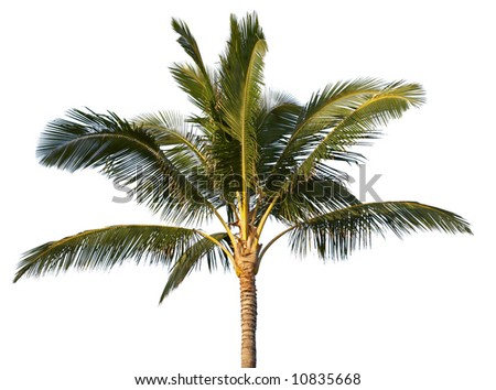 Coconut tree isolated (with clipping path)