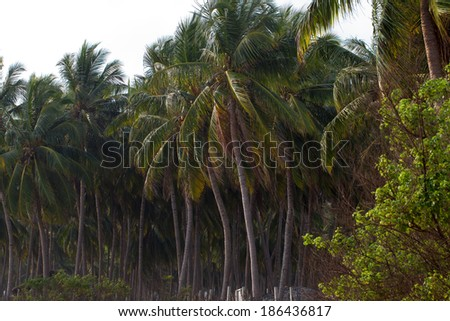 coconut tree on a private island farm Sri Lanka