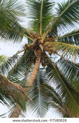 Coconut tree on sky background - stock photo