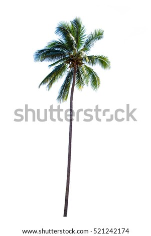 coconut tree on white color isolate background