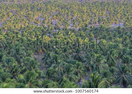 Coconut tree plantation
