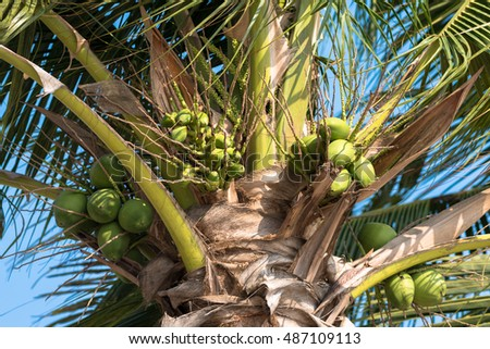 Coconut tree with blue sky background, Tropical fruit