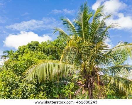 coconut tree with blue sky in rural