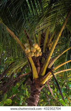 Coconut tree with coconut fruits