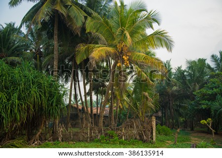 Coconut tree with coconut fruits. This coconuts are rip and ready to be harvested. Sri Lanka, Asia - stock photo