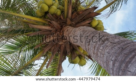 Coconut tree with group of green ripe coconuts hanging under the big green leafs - stock photo