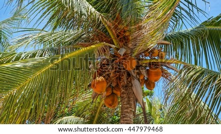 Coconut tree with group of orange unripe coconuts hanging under the big green leafs - stock photo