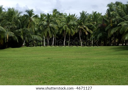 coconut trees in Malagasy island, indian ocean