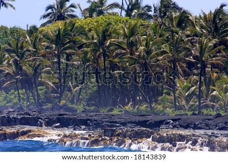 coconut trees on the Big Island of Hawaii