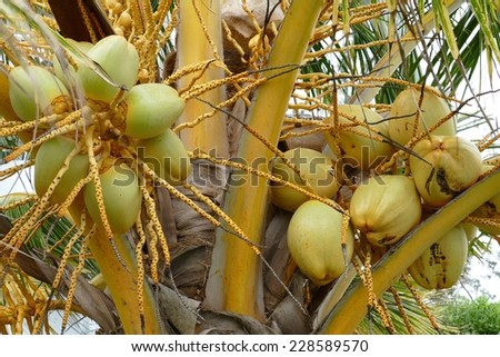 Coconuts growing on a coconut tree - stock photo