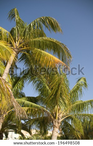Coconuts high up in a palm tree on a sunny day.