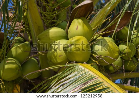 Coconuts on the palm tree in Thailand