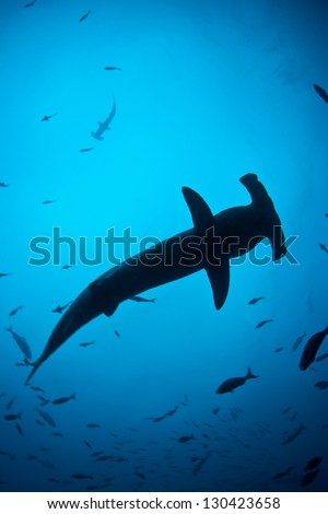 Cocos Island, several hundred miles off the west coast of Costa Rica, is home to a large population of Scalloped hammerhead sharks (Sphyrna lewini).  It is on the globally endangered species list. - stock photo
