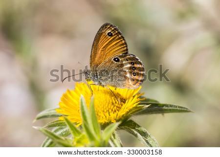 Coenonympha elbana (Coenonympha corinna) Elban heath butterfly from Elba, Italy, Europe - stock photo