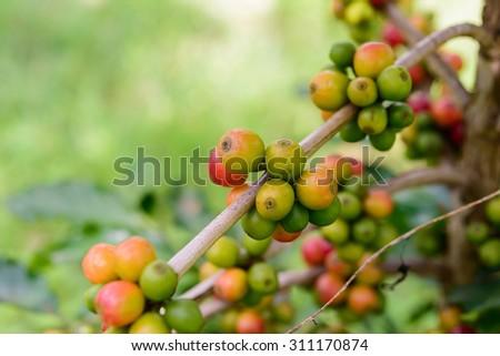 coffee bean on tree , selective focus - stock photo