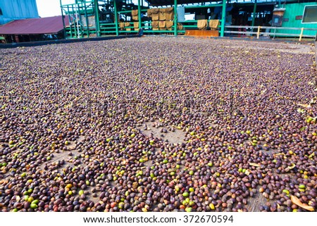 Coffee beans are drying at coffee farm, Big Island - stock photo