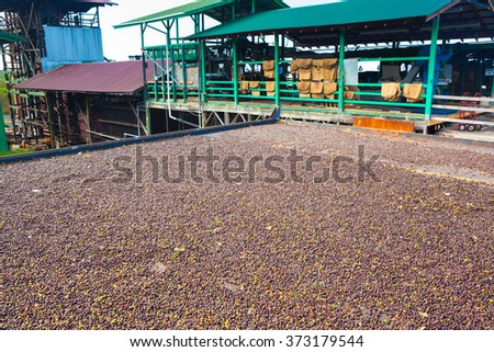 Coffee beans are drying at coffee farm, Big Island