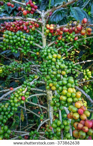 Coffee beans are harvested ripe - stock photo