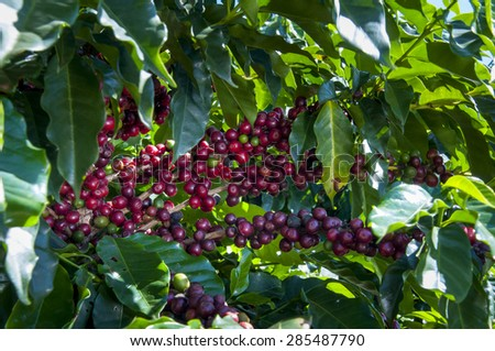 Coffee beans at Coffee tree in Brazil - stock photo