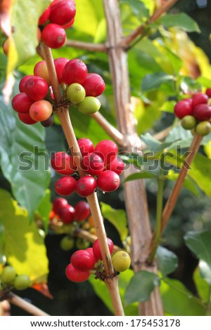 coffee beans branch - stock photo