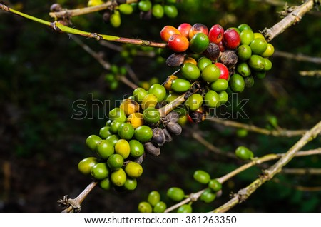 Coffee beans fresh from the garden - stock photo