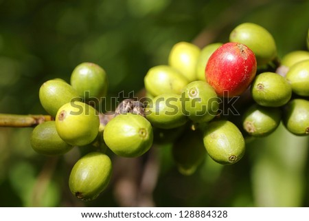 Coffee beans growing on a tree in Western Ecuador - stock photo
