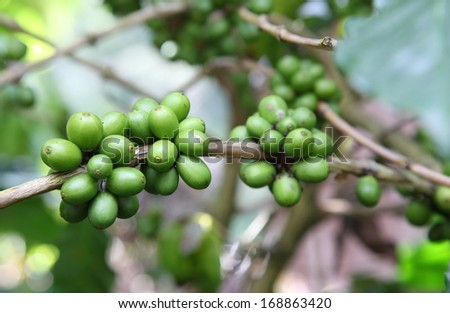 Coffee beans growing on the branch.