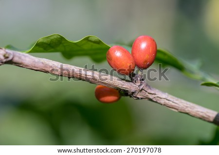 Coffee beans in the garden - stock photo