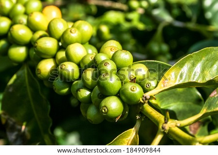 coffee beans on coffee tree, in Brazil - stock photo