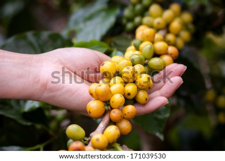 coffee beans on plant in the garden Close to harvest - stock photo