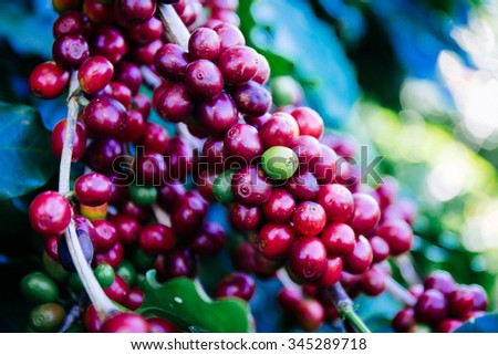 Coffee beans on the tree - stock photo