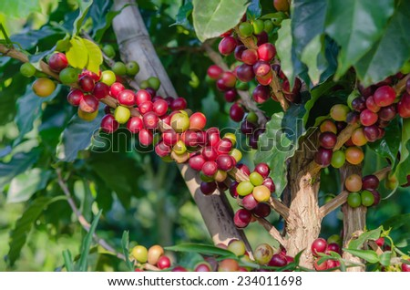 Coffee beans on tree in farm - stock photo